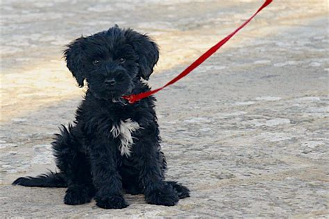 portuguese water 5 things to about portuguese water dogs petful