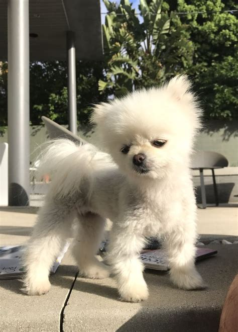 how to groom a pomeranian for show how to groom a pomeranian with pictures wikihow