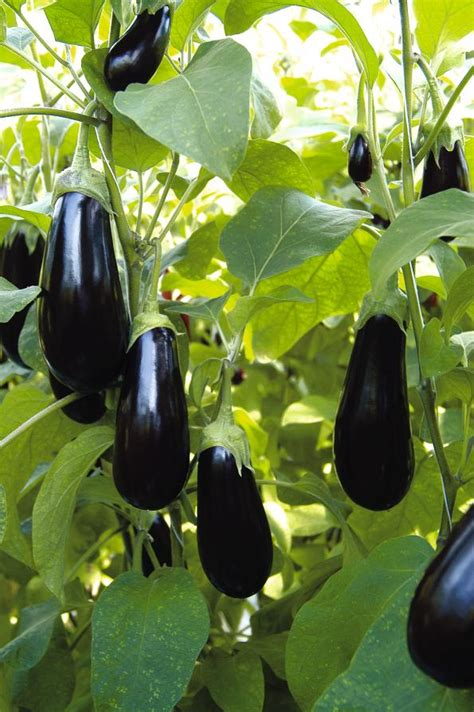 Growing Grafted Aubergine Plants   Suttons Gardening Grow How