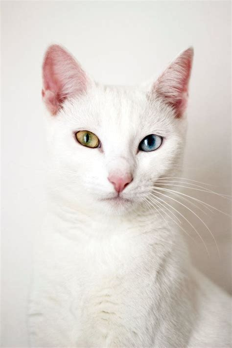white cat with odd eyes original art print odd eyed cat fine art photography