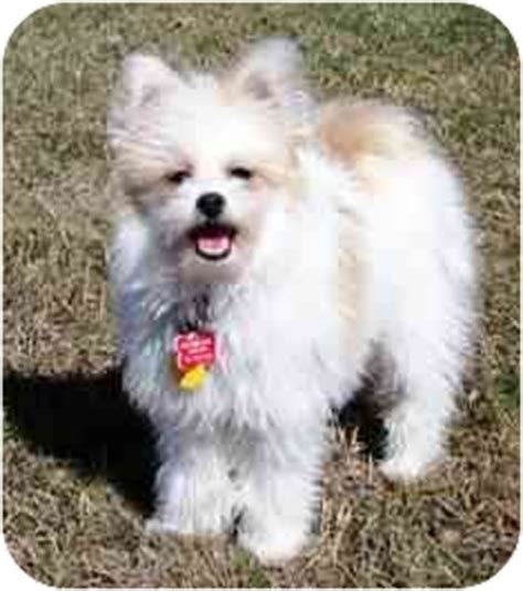 bichon mixed with pomeranian rory adopted osseo mn pomeranian bichon frise mix