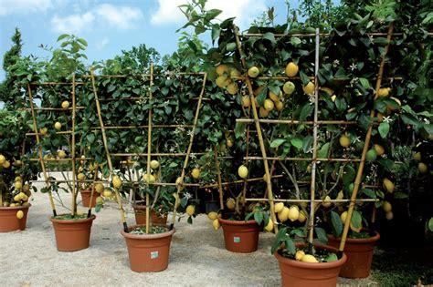 come potare il limone in vaso giardinaggio comprare una pianta di limoni qualche