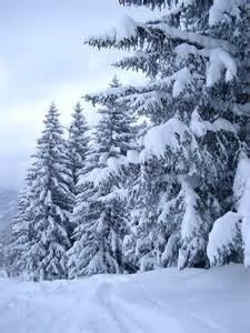 trees snow free stock photo of plenty fir trees in the snow