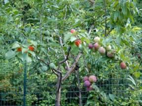 Backyard Lemon Tree Pretty Tree Grows 40 Different Kinds Of Fruit Abc News