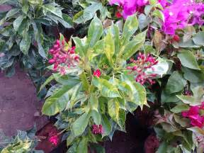 colorful plants garden care simplified croton plant colorful leaves plant