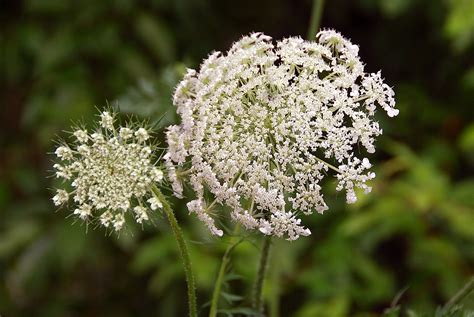 queen annes lace white ivory flowers pinterest