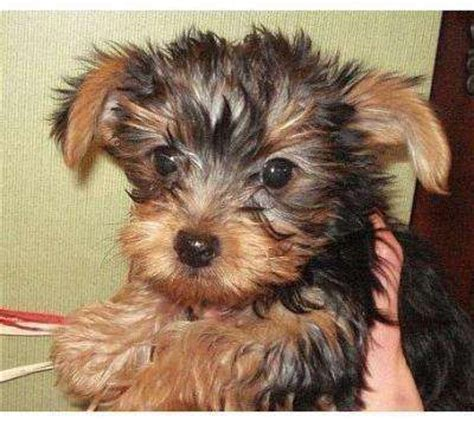 yorkie puppies for sale sydney top quolity yorkie puppy for free adoption sydney dogs for sale puppies for sale