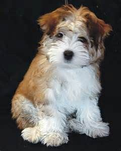 traits of havanese dogs 17 best images about havanese and cotton de tulear on puppys bar and so