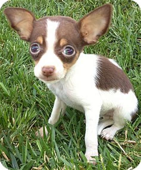 chihuahua yorkie beagle mix cheagle information and pictures chihuahua beagle hybrid dogs breeds picture