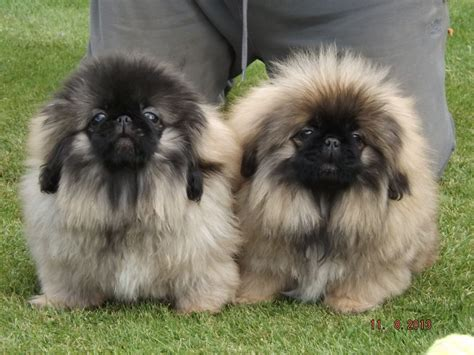 pekingese puppies pekingese puppies rescue pictures information temperament characteristics