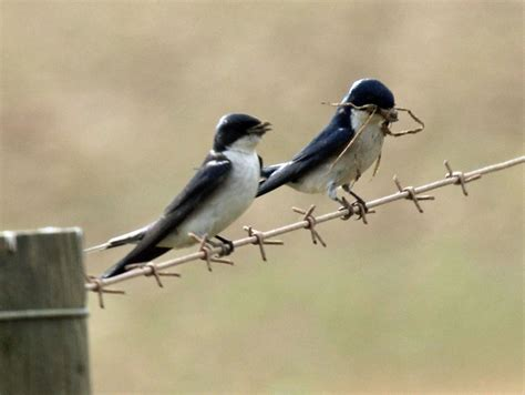 house martin house martin bird wallpaper full desktop backgrounds