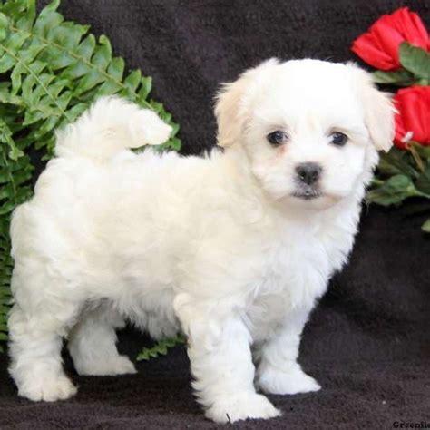 coton de tulear puppies for sale in pa princess coton de tulear puppy for sale in pennsylvania