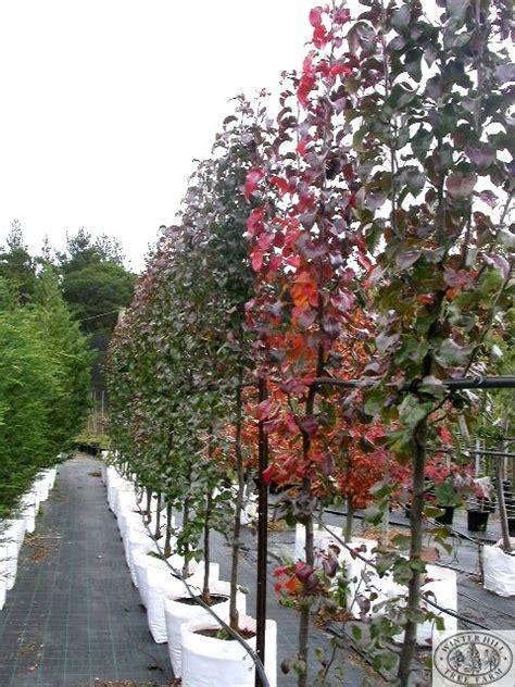 winter hill tree farm capital pear pyrus calleryana capital