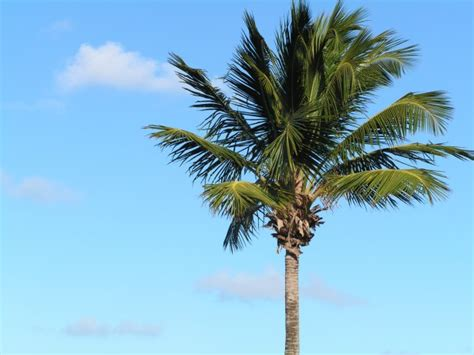 single palm tree  stock photo public domain pictures