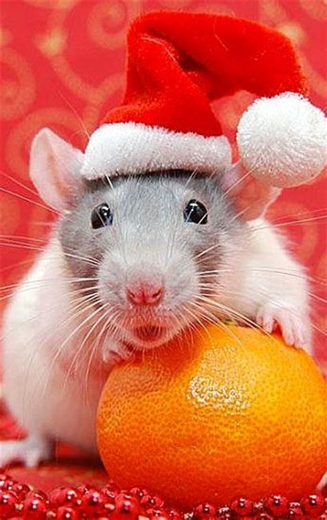 santa rat move  santa  animals wear  hat