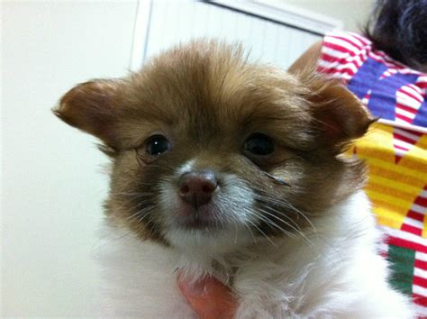 pomeranian puppies for sale in ta for sale maltese x pomeranian puppies