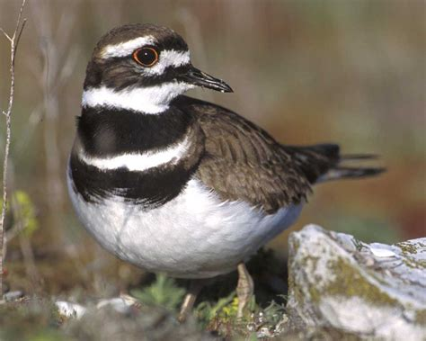killdeer audubon field guide