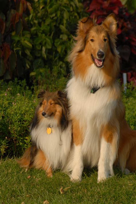 mini sheltie puppies rethinking the origins of the shetland sheepdog history