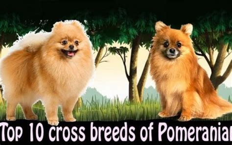 pomeranian cross breeds bully kutta breed characteristics appearance and pictures