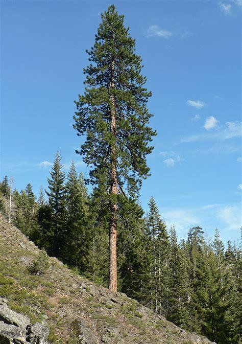 The Pine Tree pinus ponderosa