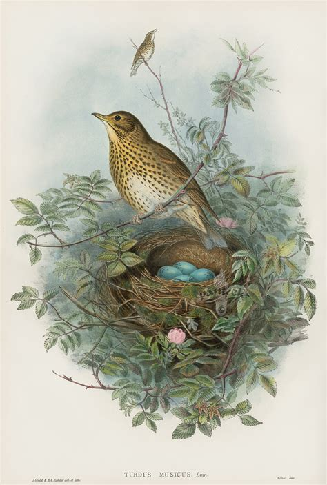 botanical lithograph grayscale coloring book books turdus musicus thrush from bird nests eggs by
