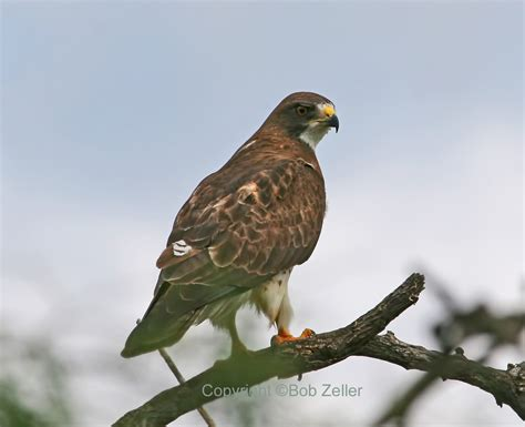 about those swainson s hawks texas tweeties by bob zeller