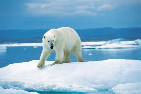the polar bear common misconceptions about glaciers
