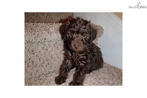 chocolate yorkie poo puppies for sale yorkiepoo yorkie poo puppy for sale near wilmington carolina 62d6abbf 9aa1