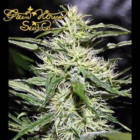 green house seed co greenhouse seed company jack herer fem shiva