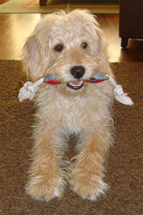 labradoodle goldendoodle dogs of golden kennel
