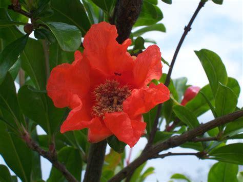 fiori melograno file melograno fiore jpg