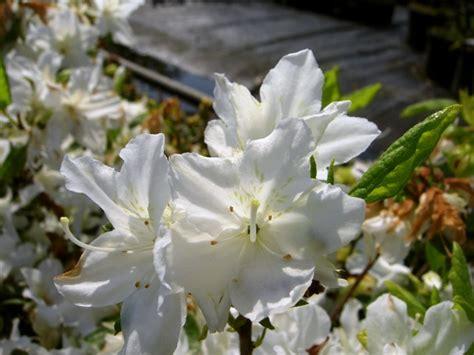 sierkers met witte bloemen cool japanse struik met witte bloemen with japanse struik