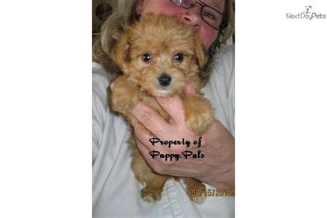 yorkie puppies for sale in south bend indiana yorkiepoo yorkie poo puppy for sale near south bend michiana indiana eaba3af3 d6d1