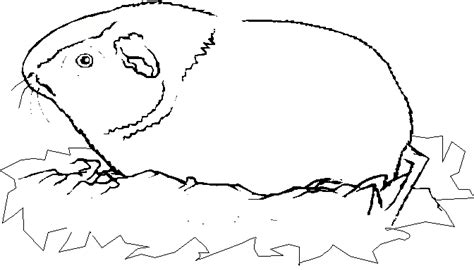 guinea pig coloring pages free printable free coloring pages of guinea drawing