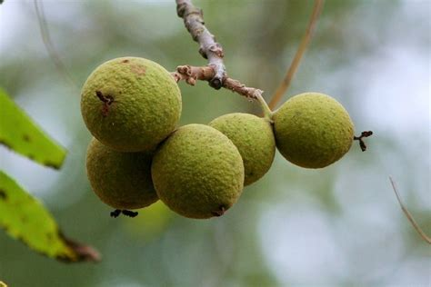 Can You Eat On The Arden S Garden 2 Day Detox by Ok Maybe You Can Eat Black Walnuts You Bet Your Garden