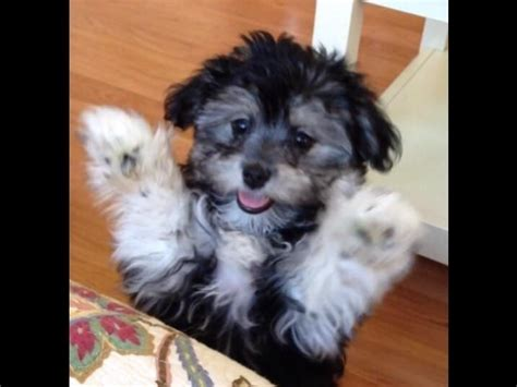 havanese puppies for sale in ct 17 best ideas about havanese puppies for sale on havanese puppies
