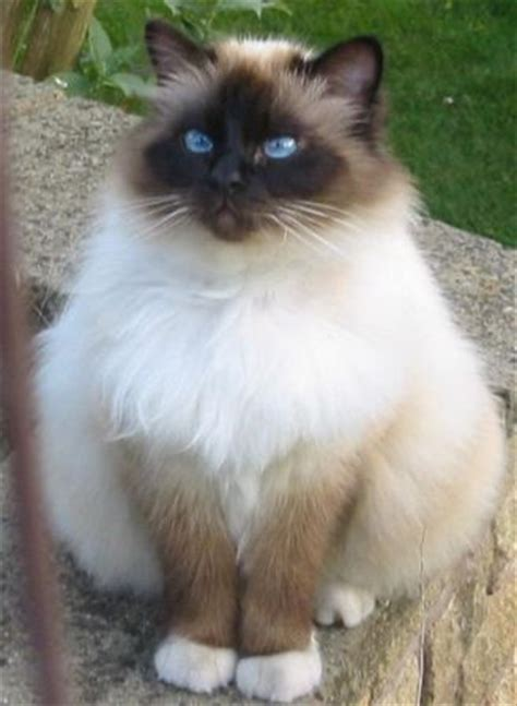 Las 10 razas de gatos más populares   GATOSPEDIA