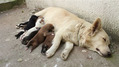feeding puppies milk stray feeding puppies with milk stock footage 3015724