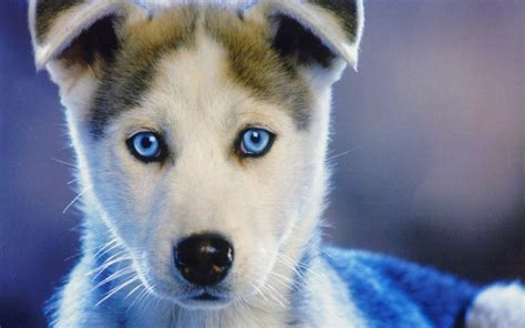 puppy blues hd background siberian husky puppy blue sled huskies wallpaper wallpapersbyte