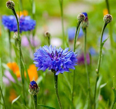fiore fiordaliso fiordaliso centaurea cyanus piante annuali