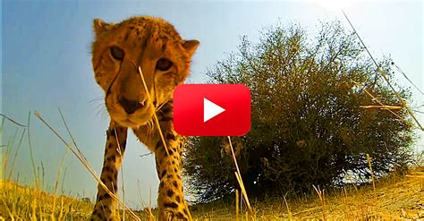 how to an overly friendly see what this overly friendly cheetah does when it finds a in the savanna
