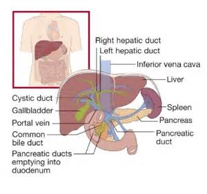 Pics photos liver location in humans diagram express projects