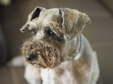 cushings disease in dogs cushing s disease in dogs canna pet