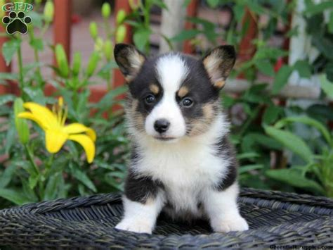 corgi puppies for sale in oregon 17 of 2017 s best corgi puppies for sale ideas on corgi dogs for sale