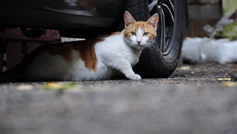 cat facts the pet parent s a to z home care encyclopedia books should feral cats be tamed cattime