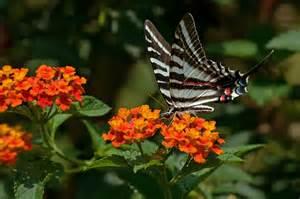 the hummingbird forum lantana