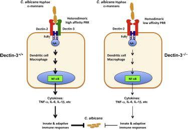 pattern recognition receptors host defense c type lectin receptors dectin 3 and dectin 2 form a