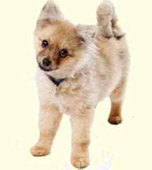 pomeranian and golden retriever mix for sale the world s catalogue of ideas