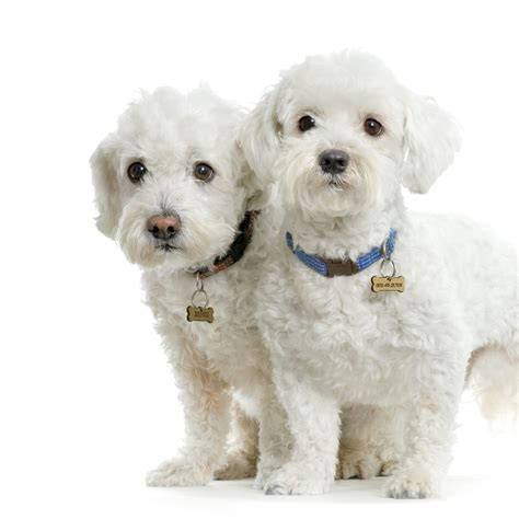 maltese puppies maltese dogs photo and wallpaper beautiful maltese dogs pictures