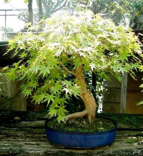 fiori di acero i bonsai di acero